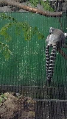KING JULIAN. no wait i am king julian so these are my lemur friends
