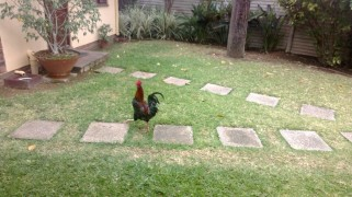 ROOSTER STRUTTING PROUDLY IN THE YARD FOR REALS OMG
